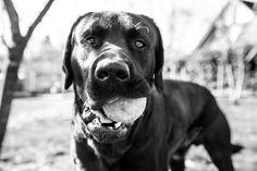 Onze labrador Boris #labrador #blacklab