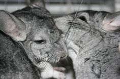 Chinchillas belong to a group of rodents known as the Caviomorphs. They are therefore related to guinea pigs and share a number of their characteristics.