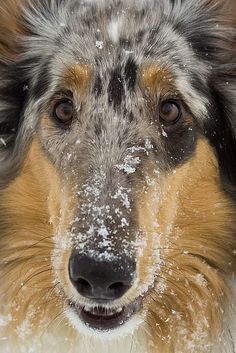 Snowy Stare - by Dave Trapp Merle Rough Collie #Dog #Puppy #Puppies