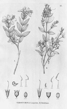 13771 Tibouchina asperior (Cham.) Cogn. / Martius, C., Eichler, A.G., Urban, I., Flora Brasiliensis, vol. 14(3): fasicle 94, t. 87 (1885)