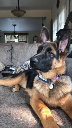 Those ears... ❤️ GSD Sasha 21 weeks #germanshepherddogs