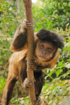 Primates: The Fearless Science of Jane Goodall, Dian Fossey, and Biruté Galdikas Dian Fossey, Jane Goodall, Orangutan, Primates, A Funny, Monkeys, South Africa, Wildlife, Comics