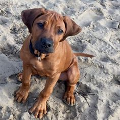 "1,148 Likes, 22 Comments - Rhodesian Ridgebacks of IG  (@rhodesianridgebacksofig) on Instagram: ""Beautiful photograph  #rhodesianridgeback #rhodesianridgebacks #rhodesianridgebacksofinstagram…"""