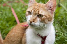 Katzengeschirr mit Leine - Sicher unterwegs mit Katze - https://www.transportbox-katzen.de/katzengeschirr/