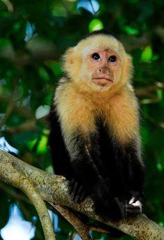 Capuchin Monkey in Costa Rica. Photo by Christina Craft via her website.