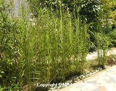 Arundina graminifolia (D.Don) Hochr.-lost to moderate colour Sun Plants, Flora And Fauna, Lost, Colour, Plants Sunny, Color, Colors
