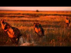 a treat for all the senses! Liuwa Plain National Park is situated in a remote section of Western Zambia. Safari, National Parks, Videos, Dogs, Animals, Animales, Animaux, Doggies, Animal