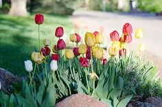 happy tulips in the spring