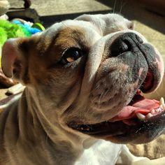 Because I'm happy. #dog #dogs #katanddog #englishbulldog #bulldog #bulldogpuppy #puppy #englishbulldogpuppy