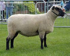 shropshire sheep images - Google Search