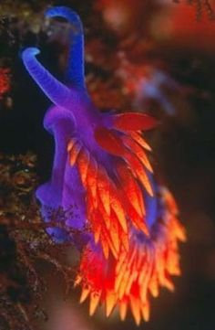 A wonderfully colorful nudibranch! ...........click here to find out more http://googydog.com