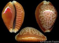 Image result for orange sea shells