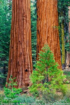 Young Sequoia and mature Giant Sequoia trees, Sequoiadendron giganteum,. Sequoia National Park, National Parks, Giant Sequoia Trees, Sequoia Forest, California Tourist Attractions, Sequoiadendron Giganteum, Road Trip, Tree Forest, In The Tree