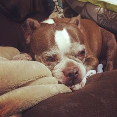 Ebbie May chillen while we film more YouTube vids! Haha  #iamdavidvo #like #follow #me #picoftheday #cool #dogs #pets #bostonterrier #instagood #instagood #youtube