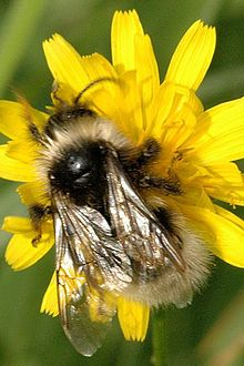 Gypsy's Cuckoo Bumblebee, is a species of socially parasitic cuckoo bumblebee found in most of Europe and the United Kingdom with exception of the southern Iberian Peninsula and Iceland