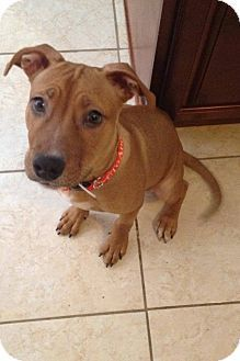 Ridgewood, NY - American Pit Bull Terrier Mix. Meet Ernie a Puppy for Adoption.
