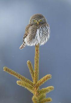 Pygmy Owl. Photo by Donald M Jones.