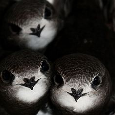 Young common swift siblings All Birds, Love Birds, Beautiful Birds, Animals Beautiful, Animals And Pets, Funny Animals, Cute Animals, Swift Bird, Sparrow Bird