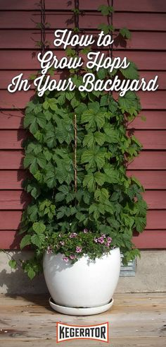 Organic Gardening How to Grow Hops in Your Backyard - You can't brew beer without hops. And many homebrewers are now opting to grow their own. Here's how you can grow your own hops at home. Home Brewery, Home Brewing Beer, More Beer, Wine And Beer, Hops Plant, Cactus Planta, Beer Recipes, Coffee Recipes, Organic Gardening Tips