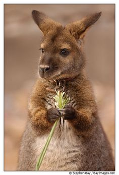 Bennett's wallaby. Red-necked wallaby. Micropus rufogiseus.