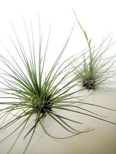 Tillandsia filifolia // Air Plant. $5.00, via Etsy.