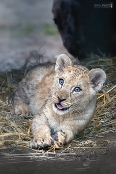 Tessy by Isabelle Jordans on Baby Lion Cubs, African Cats, Leo Lion, Cute Animal Pictures, Cute Baby Animals, Big Cats, Animal Photography, Dogs And Puppies, Cute Babies