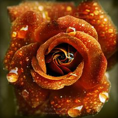 ~♫raindrops on roses♪~                       ~Autumn Rose by Lily A. Seidel~