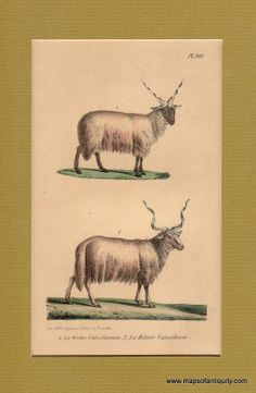 Maps of Antiquity Antique Prints Walachian Ram and Ewe, Looking for something fun and unusual to decorate your wall?  How about these funny creatures?  They were illustrated in 1850 and have not yet lost their sense of humor!