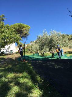 """raccolta delle olive 2015... complimenti alla squadra """"I Ciacca Picinisco """"..."""