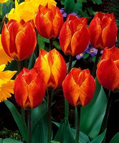 Tulip Flair - Single Early Tulips - Tulips - Flower Bulbs Index