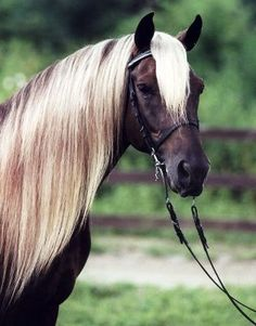 Black silver dapple Rocky Mountain Horse