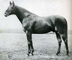 """Teddy(1913)(Colt)Ajax- Rondeau By Bay Ronald. 3x5 To Bend Or, 4x5x5 To Galopin. 8 Starts 6 Wins 1 Third. Won Gran Premio Sa Sebastian(Ity), Sebastian St Leger(Ity), Prix De Damay(Fr), Prix Des Trois Ans(Fr), Prix Des Sablonnieres(Fr), 3rd Coppa D'Oro Del Re(Ity), Prix D'Elevage(Ity). A Solid Sire Throughout His Stallion Career, He Was The One Horse That Arthur """"Bull"""" Hancock Tried To Obtain On Many Occasions."""