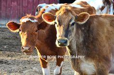 Cows On The Farm - photography print rustic farm photograph fine art farmhouse animal photo