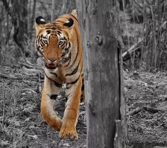 Teliya girl - Wildlife Photographer Community Wildlife photographer Abhishek Deshmukh shared a wonderful image on community(website) of wildlife photographers.  Click below link to view in full mode http://photos.wildfact.com/image/322/teliya-girl