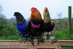 Cornwall chickens given knitted jumpers to stay warm this winter