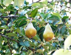 Pyrus communis - päron