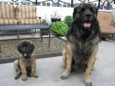 Our Leonbergers (Giant German breed). Maximus 2.5 years, Arria 10 weeks