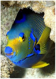 They called this a queen angel fish however looks like a triggerfish to me...
