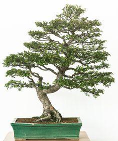80 year old Ulmus parvifolia as bonsai tree