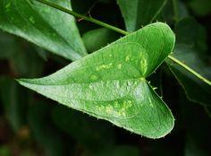 salsepareille | File:Smilax aspera 1652.JPG - Wikimedia Commons -- La Salsepareille est recommandée dans les cas de: - Troubles de la peau (dermatose, prurigo, eczéma, psoriasis) - Constipation, colopathie chronique. - Excès d'urée, calculs rénaux. - Dyspesie.