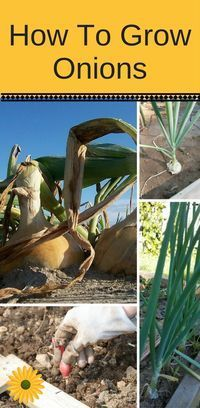 Did you know that onions are really easy to grow? Here's a step by step with lots of pictures.