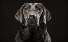 """A black Labrador retriever named Denver poses in Fred Levy's studio in Maynard, Massachusetts. Levy, a pet photographer, first heard about """"Black Dog Syndrome"""" in a 2013 conversation at a dog park. It's a disputed theory that black dogs are the last to get adopted at shelters, perhaps because of superstition or a perception that they're aggressive. The idea inspired Levy to take up a photo project on their behalf."""