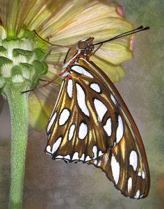 ~Gulf Fritillary Butterfly~