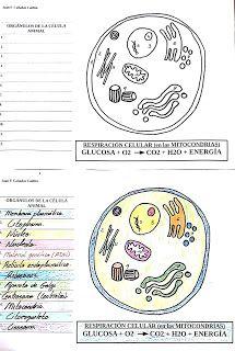 Naturaleza Y Aula 1º Eso Célula Animal Para Completar Y Colorear Célula Animal Celula Animal Para Colorear Celulas