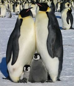 Cute family of penguins Cute Baby Animals, Animals And Pets, Funny Animals, Wild Animals, Animals Planet, Funny Birds, Nature Animals, Penguin Love, Cute Penguins