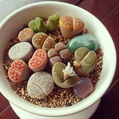 Lovely lithops! Living rocks.