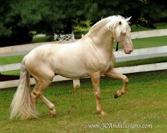 Cream: Cremello.  Two copies of the cream gene (CR) on a red horse.  CRCRee
