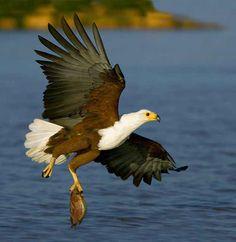 Birds Catching Fish   FunCram