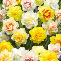 Double Daffodil Mixed are great for naturalizing- National Garden Bureau
