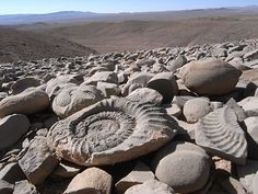 Ammonite fossils in their natural environment(Chile,atacama desert) Natural Forms, Natural Wonders, Rock And Pebbles, Dinosaur Fossils, Extinct Animals, Prehistoric Creatures, Evolution, Ammonite, Ancient Artifacts